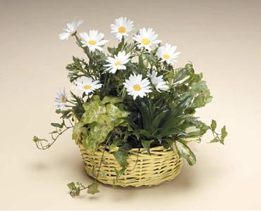 Basket of Green and Daisy\'s